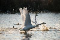 白鳥 - 葛飾の人Ⅲ
