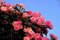 港の見える丘公園でバラに囲まれる - じるかぼ日記2