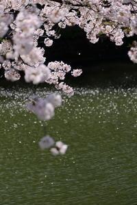 「圧倒的桜。2017」千鳥ヶ淵編 - Monologue