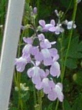 雑草の花4種 - 寺小屋日記