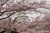 圧倒的桜、2017  - シャドーボックス作品集
