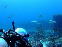 アオリイカ、またまた大当たり~(^^)v - 八丈島ダイビングサービス カナロアへようこそ!