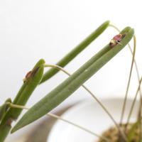 Pleurothallis portillae - Bizarre Plants