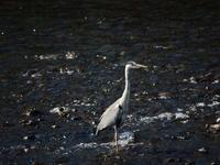夏が来たような浅川 - 西多摩探鳥散歩