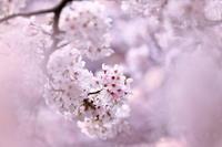 春に包まれて - 日記のような写真を