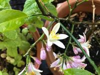 レモンの花が咲きました。夏の始まりです - パームツリー越しにgood morning        アロマであなたの今に寄り添うブログ