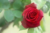 velvet rose - kzking1963 Digital Photo Diary