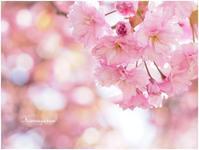 八重桜 その3 - こもれびの森