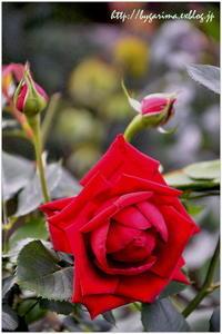 Red Rose - caetla