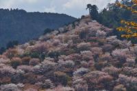 桜  2017  奈良吉野山 - 写真部