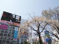 SAKURA in Shibuya -圧倒的桜。2017- - jinsnap (weblog on a snap shot)