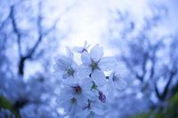 rainy day -圧倒的桜。2017- - jinsnap (weblog on a snap shot)
