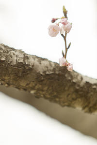 Changing colors -圧倒的桜。2017- - jinsnap (weblog on a snap shot)