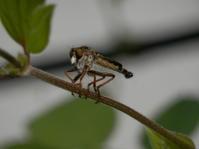 アオメアブがふわっとやってきました - 虫と一緒にバラ育て バラと虫たちの世界 小さな庭で