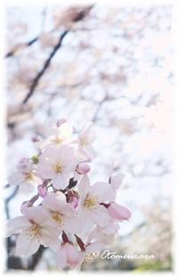 今年の桜の頃の思い出 - 日々楽しく ♪mon bonheur