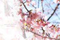 圧倒的桜*2017〜その1 - koharu*biyori