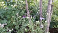 ニゲラが咲きました♪ - 今から・花