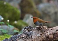 コマドリ - 今日も鳥撮り