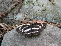 ミスジチョウ初見 - 秩父の蝶