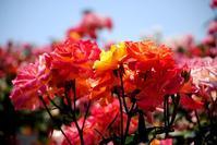 バラ・薔薇 - できる限り心をこめて・・Ⅲ