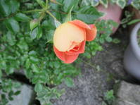 今日の開花 - 日々の宝物