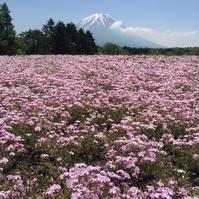 富士芝桜まつり - おはけねこ 外国探訪
