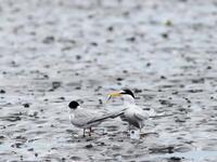 コアジサシの求愛 (残念でした)  三番瀬 - シエロの鳥ノート