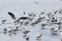ユリカモメ(夏羽含む)   三番瀬 - シエロの鳥ノート