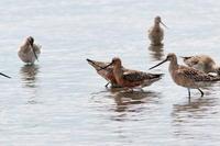 オオソリハシシギ 集団   三番瀬 - シエロの鳥ノート