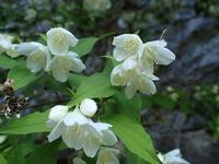 5月中旬の石巻山の花 - 弓張放浪