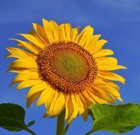 パワーに関する歪みに対して~サンフラワーのフラワーエッセンス - 旅の音色~花のしずくとつれづれに~