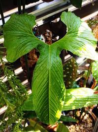 アンスリウム・ドラコノプテラム #3 - Blog: Living Tropically