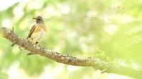 マミチャジナイ - 北の野鳥たち