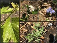 アロニアの花とフデリンドウ - 森の扉