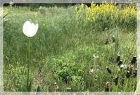 野原のチューリップ - 森の扉