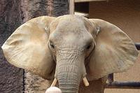 夏日のアフリカゾウたち - 動物園放浪記
