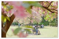 桜の余韻。東京の桜。 - Yuruyuru Photograph