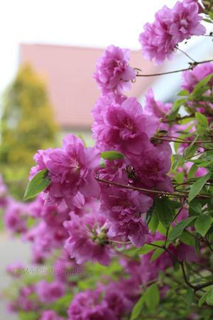 花満開と家庭菜園の季節 - TAMAの卵