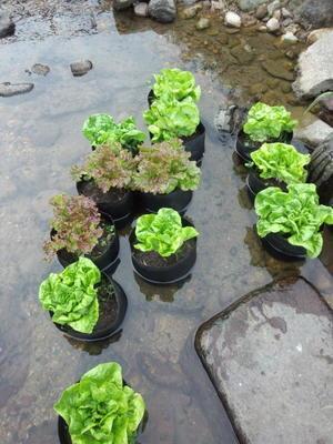 川へ野菜を採りに・・・ - なるようになるなる