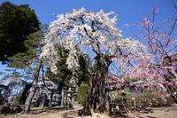 無量寺 枝垂れ桜 - photograph3