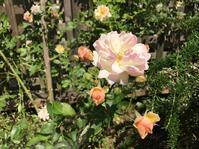 つるバラ(フィリス・バイド)が咲き始めました - 「今日の一枚」