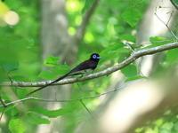 今季初撮りサンコウチョウ - 『彩の国ピンボケ野鳥写真館』