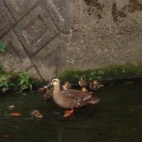 赤ちゃん鴨 - ふう姫日記