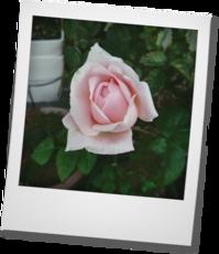 アンブリッジローズ 咲きました! - khh style