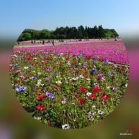 ④芝桜の旅「お花たち」2017.5.19 - わたしの写真箱 ..:*:・'°☆