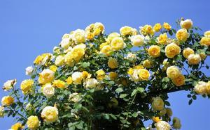 バラが見頃のヨコハマ 港の見える丘公園2 - Sweet  Davy