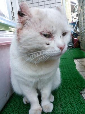 シロタン改め大福君、幸せに!(2017.5.21) - きよせ猫耳の会(旧 飼い主のいない猫を考える会)