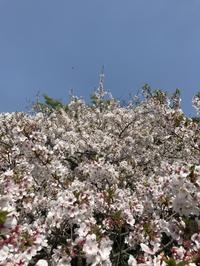 圧倒的桜の 番外編〜♪ - るなとゆずと * 私の時間 ♪