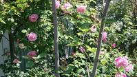 香りの女王「ローズ」 - 「旅と香りのナビゲーター まえだゆーこ」のブログ