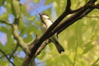 今季初ハチクマ&シジュウカラが賑やか - 野鳥写真日記 自分用アーカイブズ
